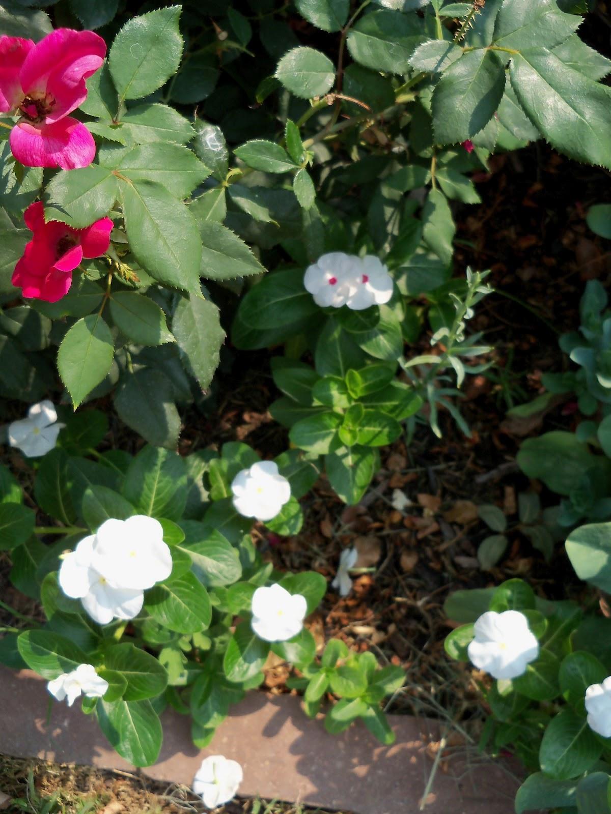 Gardening 2011 - 100_9342.JPG