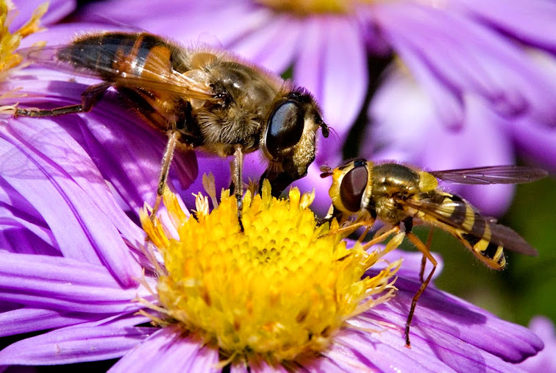 Bees and Hover Fly - Brian R