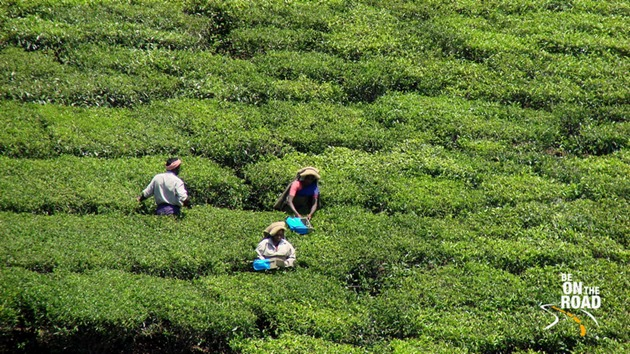 Tea plucking at Munnar