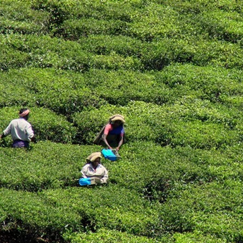 Monsoon Holidays In Kerala: Mountains Of Possibility: Munnar Beckons