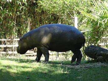 2017.06.17-041 hippopotame nain