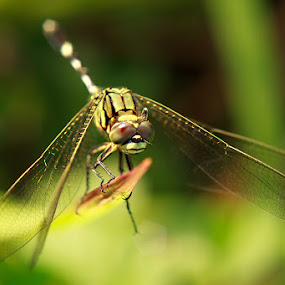Ready to take off by Andhika Satya - Animals Insects & Spiders ( macro, green, insect, dragonfly )