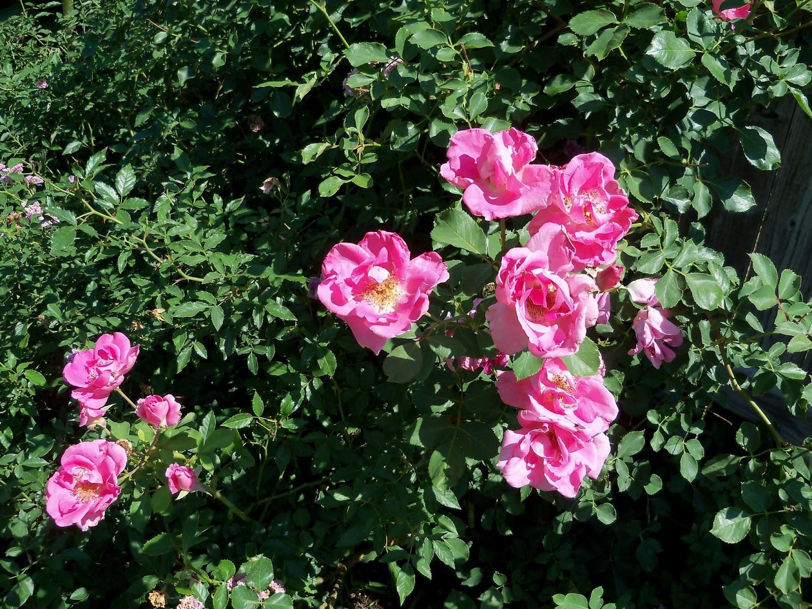 Gardening 2011 - 100_9071.JPG