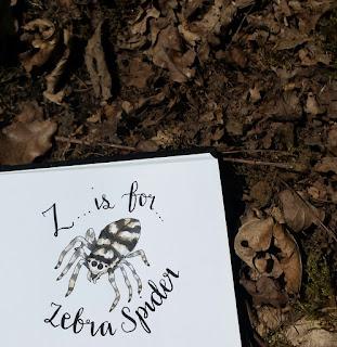 Zebra Spider :: www.AliceDrawsTheLine.co.uk