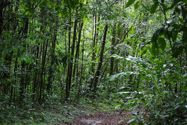 Layon forestier. Pointe Maripa (Rivière Comté), 9 novembre 2012. Photo : J.-M. Gayman