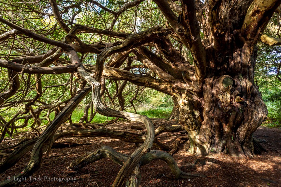 kingley-vale-yew-forest-7