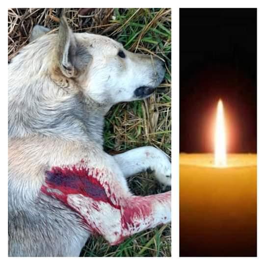 matan a balazos a perro en San Cristóbal.