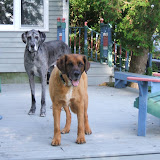 The Dynamite Danes Family! - Dogs%2B006.jpg