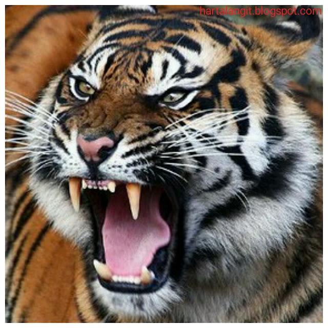 taring macan asli