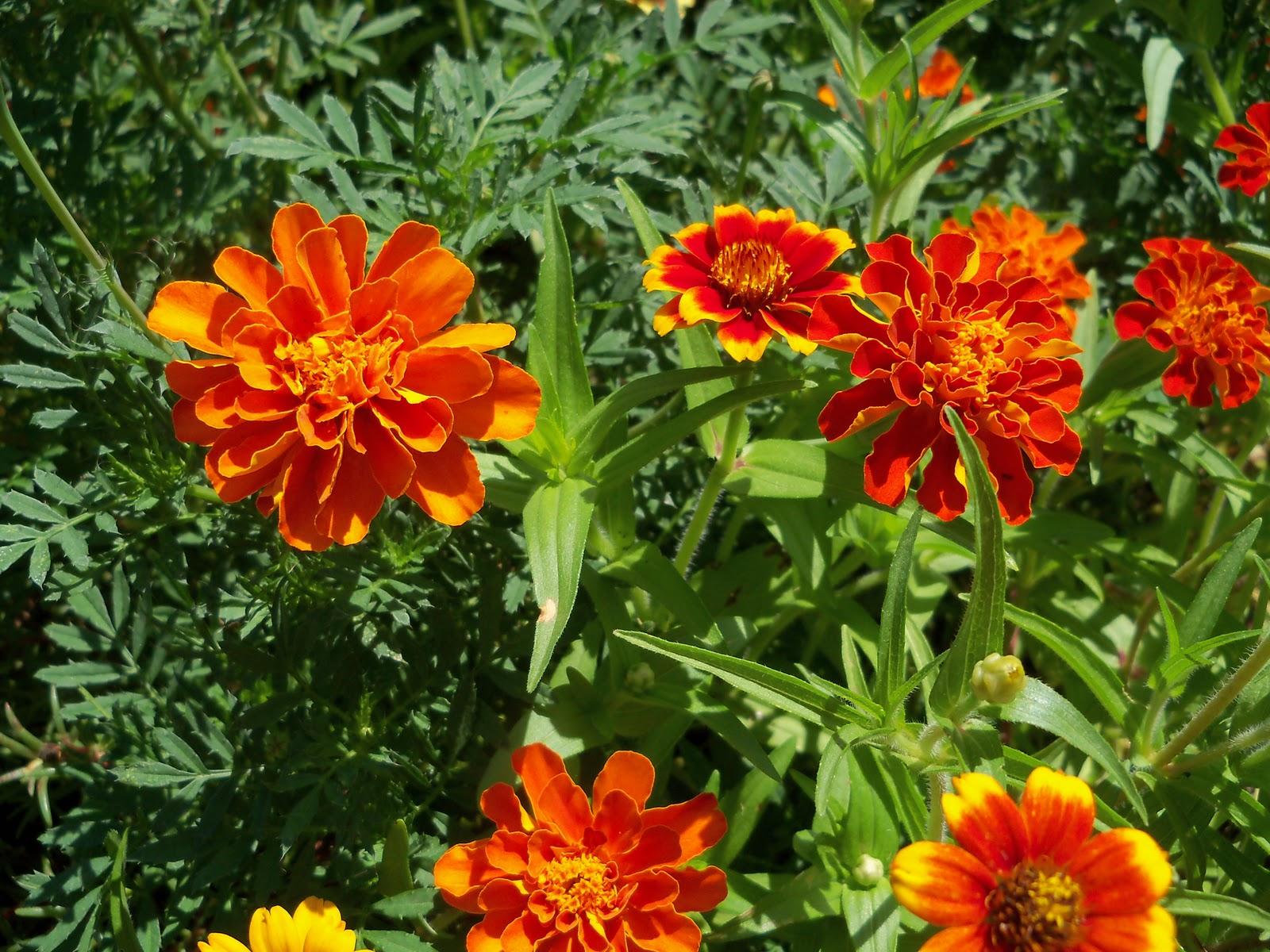 Gardening 2010, Part Three - 101_4387.JPG
