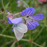 Polyommatus persephatta ALPHÉRAKY, 1881, sur Geranium sp. Vallon au sud de la vallée de Kichi-Kara-Kujur, (au Sud de Dolon Pass), Kirghizstan, 16 juillet 2006. Photo : F. Michel