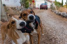 Two cute dogs, that love destroying socks!