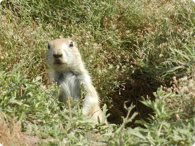 IMG_1092a Prairie Dog (4)