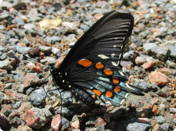 IMG_5768 Pipevine Swallowtail (Battus philenor) (1)