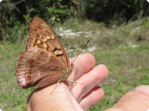 3 Tawny Emperor Butterfly (3)