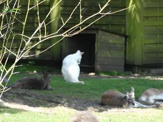 2016.07.31-010 kangourou blanc