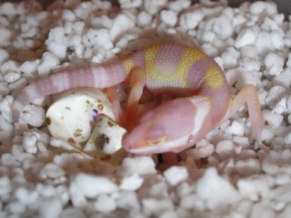 Friend make incubator: December 2015Hatching Leopard Gecko Eggs