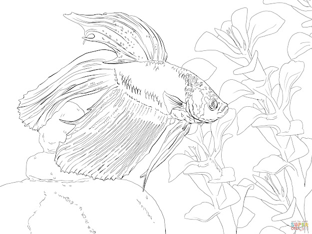 Click The Siamese Fighting Fish Coloring