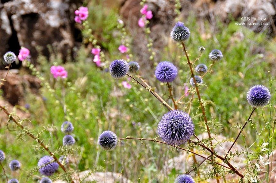 Цветы в Гамле. Экскурсия по Голанским высотам. Гид в Израиле Светлана Фиалкова.
