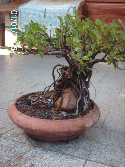Ficus Microcarpa do Roberto Teixeira... PICT1655