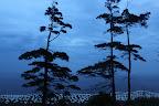 L'ARBRE QUI CACHAIT LA COLONIE La colonie de l'Ile Bonaventure a regroupé jusqu'à 60 000 couples de fous de bassan !
