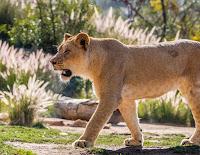 D_G_B_SelbyG_Lion.jpg