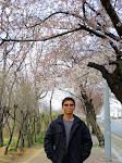 Cherry Blossoms, Yeouido Hangang Park  [2013]