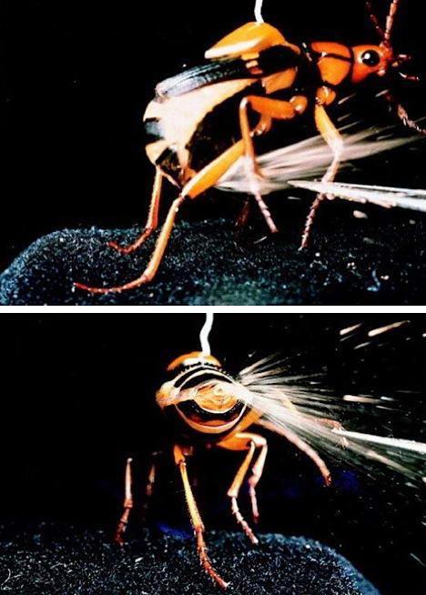 Kumbang pengebom