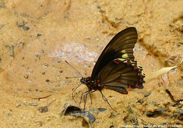 Battus polydamas polydamas (L., 1758). Pitangui (MG, Brésil), 11 mars 2012. Photo : Nicodemos Rosa