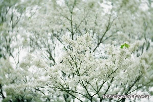 Ảnh hoa sưa nở trắng tinh khôi
