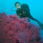 Purple gorgonian at Tulamben drop-off