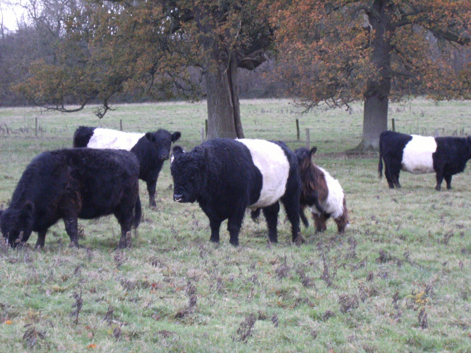 DSCF2715 Belted Galloways near Bere Mill