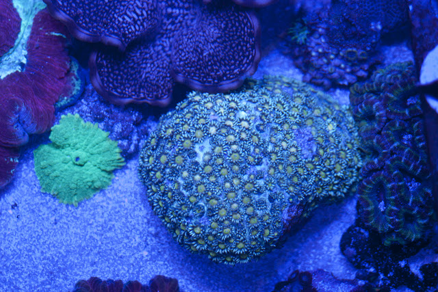 CRW 3986 - zoas and palys-  lps - sps - nightmares and people eaters!