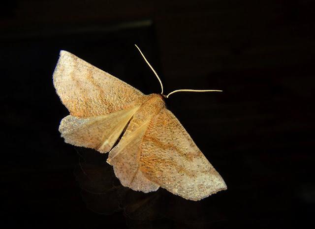 Geometridae : Ennominae : Nacophorini : Mnesampela lenaea MEYRICK, 1892. Umina Beach (NSW, Australie), 6 mai 2011. Photo : Barbara Kedzierski