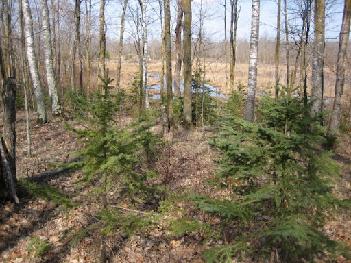 Spruce trees doing well in between ski trails.