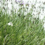 Parnassius (Parnassius) sacerdos STICHEL, 1906. Fex Curtins, 2100 m (Engadine, Grisons, CH), 11 juillet 2013. Photo : J.-M. Gayman