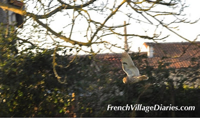 French Village Diaries wildlife in France long eared owl in daylight flight