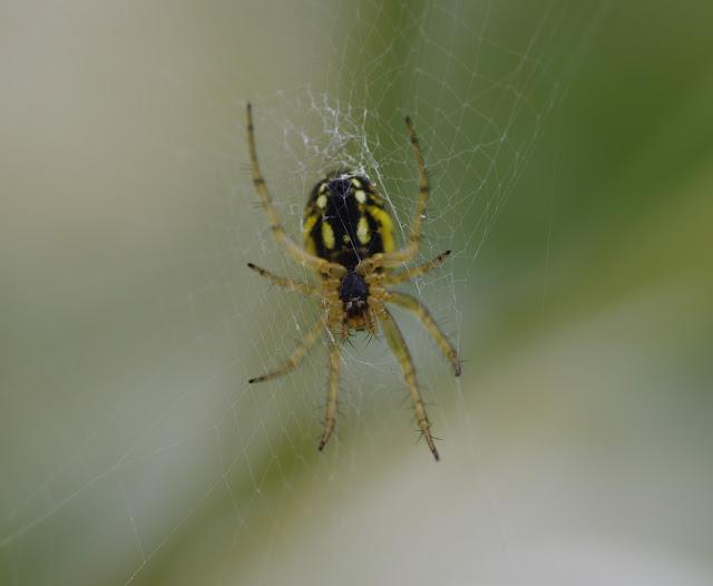 Araneidae : Mangora acalypha (WALCKENAER, 1802). Les Hautes-Lisières (Rouvres, 28), 16 juin 2012. Photo : J.-M. Gayman