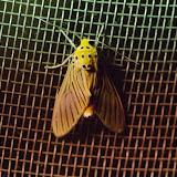 Phaemolis lineatus (Druce, 1884). Santa Fe (Veraguas, Panamá), 18 octobre 2014. Photo : J.-M. Gayman