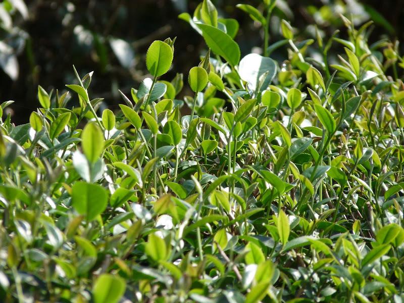 Ylan County.plantation de thé