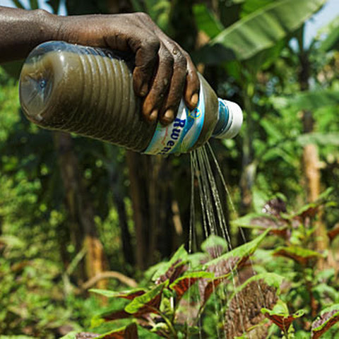 Holes in a plastic bottle to spray plants with 'plant tea'