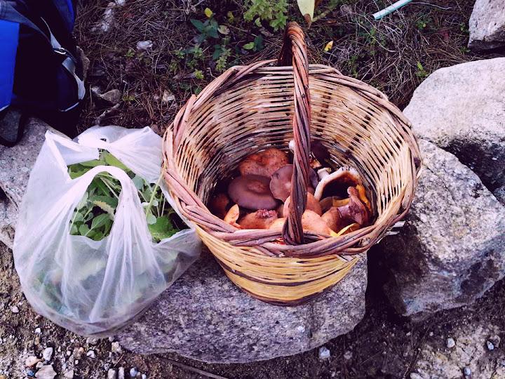 Mushrooms inside the basket: Lepista nuda, Lepista flacida, Lactarius sanguifluus, L. deliciosus, Tricholoma caligatum. Leccnellum lepidum, Suillus collinitus, Suillus bellinii, Cantharellus cibarius, Agaricus sp. Russula delica