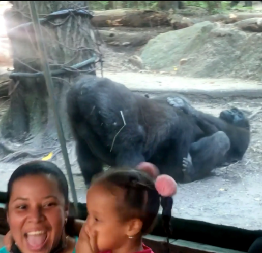 Onlookers in shock as gorilla performs oral x on its partner in a zoo (video)