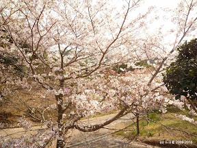 桜は癒されます!