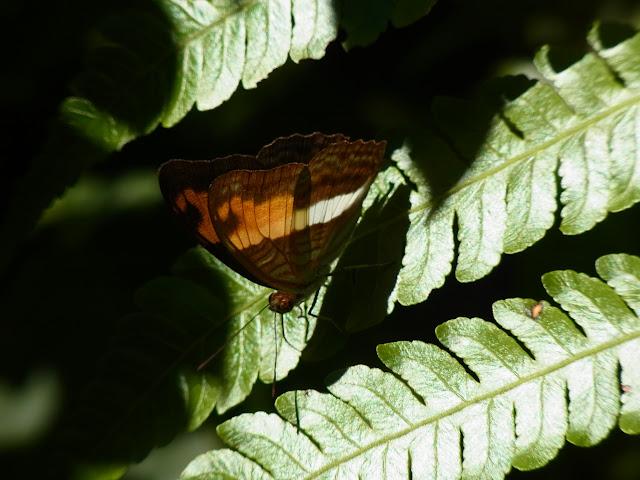 Probablement Adelpha heraclea heraclea (C. Felder & R. Felder, 1867). Bosque Bavaria (Villavicencio, Meta, Colombie), 24 novembre 2015. Photo : J. Michel