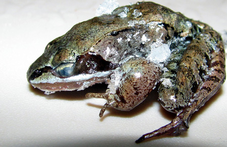 frozen Wood Frog in hibernation