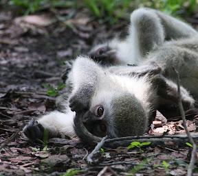 Baby Vervet Monkeys, Zambia