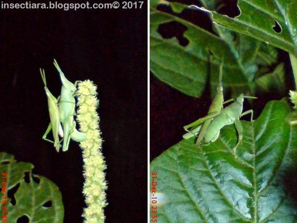 nimfa belalang Atractomorpha screnulata kawin