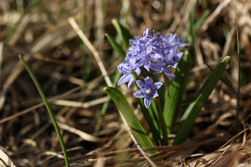 Scila dvojlistá (Scilla bifolia agg. L.)