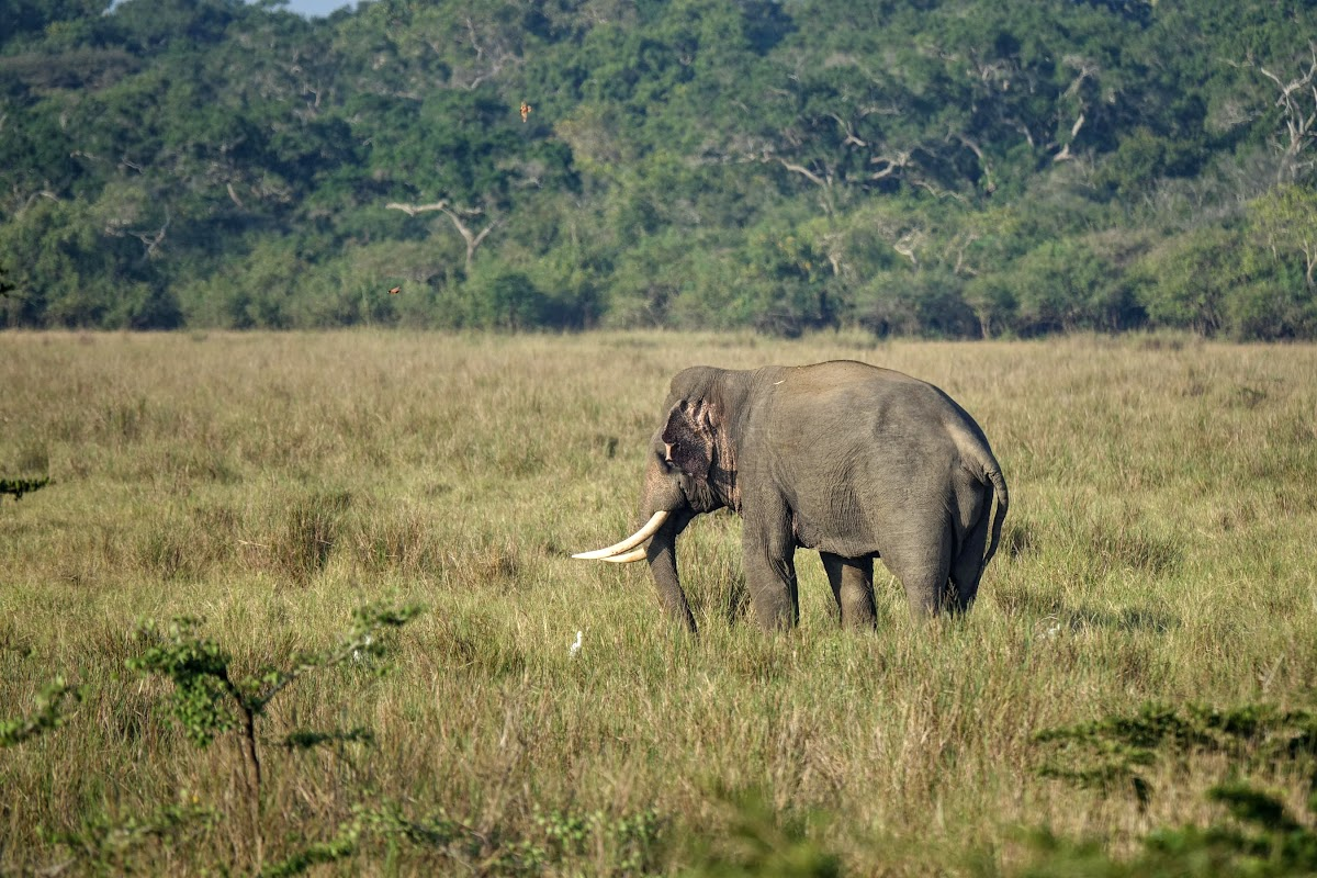 Sri Lanka Travel Tips // Elephant in Wilpattu National Park